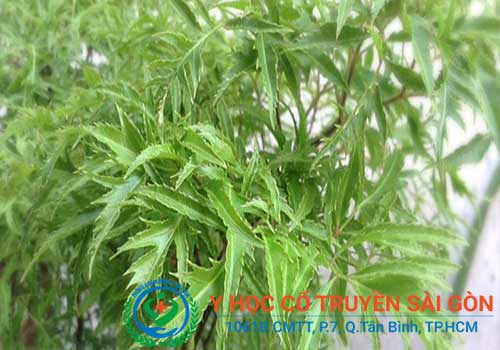 Bài thuốc nam chữa bệnh đau lưng hiệu quả trong dân gian bằng cây Đinh lăng