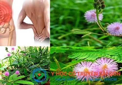 Chữa bệnh khô khớp bằng bài thuốc nam từ cỏ trinh nữ