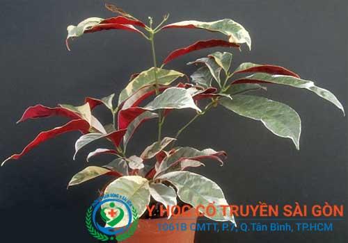 Chữa bệnh viêm da dị ứng bằng cây đơn đỏ