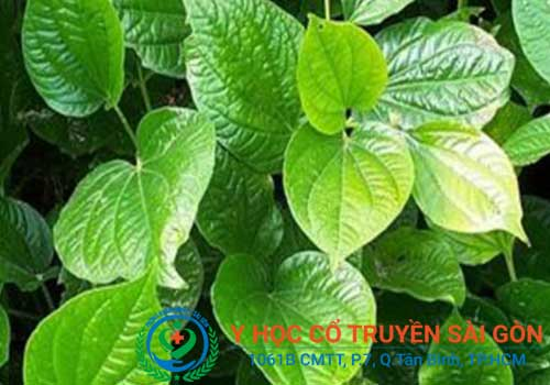 Bài thuốc nam chữa tràn dịch khớp gối từ lá lốt