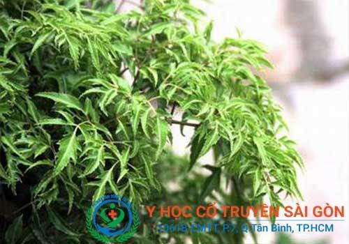 Bài thuốc nam chữa tràn dịch khớp gối bằng rễ đinh lăng
