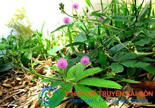 Bài thuốc nam chữa viêm khớp dạng thấp từ cây trinh nữ