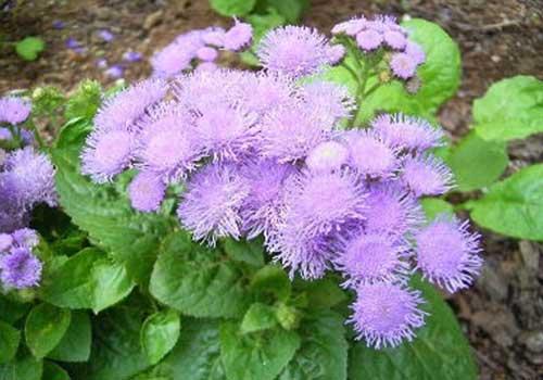 hoa ngũ sắc giúp điều trị viêm mũi dị ứng