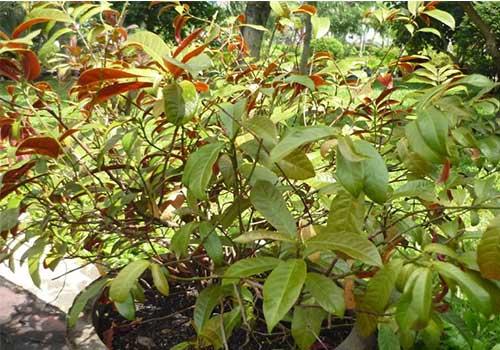 lá cây đơn đỏ - vị thuốc chữa viêm da cơ địa cực hiệu quả