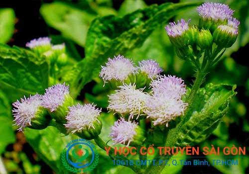 Hoa Ngũ Sắc có thể dùng để chữa viêm mũi dị ứng