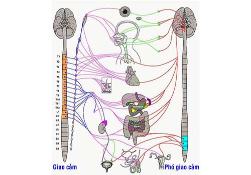 Suy nhược thần kinh thực vật là gì Triệu chứng và cách chữa
